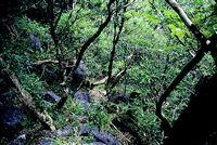 秋月のツゲ原始林