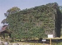 小城公園の角槇